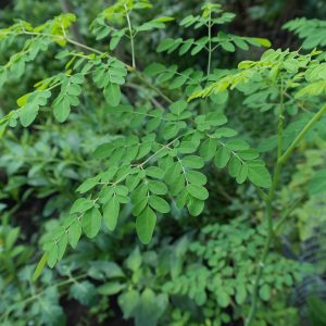Moringa pianta: dove trovarla?